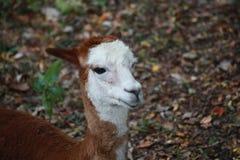 Alpaga in uno zoo fotografia stock