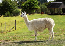 Alpaga w Nowa Zelandia Obrazy Royalty Free