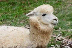 Alpaga in zoo su fondo Fotografia Stock Libera da Diritti