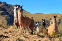 Alpaghe al vulcano di Pasochoa, Ecuador Immagini Stock Libere da Diritti
