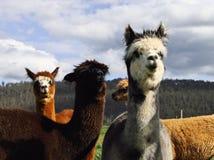 Alpaghe graziose Fotografie Stock
