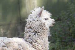 Alpaghe nell'azienda agricola Fotografie Stock Libere da Diritti