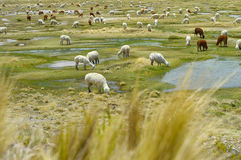 Alpagi bydła łasowanie w ich naturalnym stanie Zdjęcia Stock