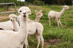 alpagi chronią lamy przygotowywali ostrzyżonego Obrazy Stock