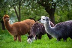 Alpagi podczas gdy jedzący trawy fotografia stock