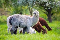 Alpagi podczas gdy jedzący trawy zdjęcia royalty free