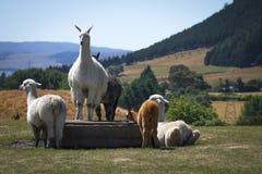 Alpagi w alpagi gospodarstwie rolnym Zdjęcie Royalty Free