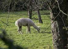 Alpagowy pasanie na trawie w zieleni polu obok drzewa Obrazy Royalty Free