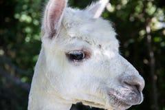 Alpagowy portret Zdjęcie Royalty Free