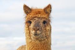 Alpaka stockfotos