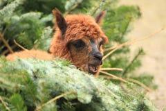 Alpaka lizenzfreies stockbild