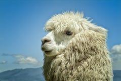 Alpaka Lizenzfreie Stockfotos