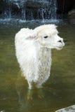 Alpaka Lizenzfreie Stockfotografie