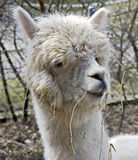 Alpaka 4 Lizenzfreies Stockfoto