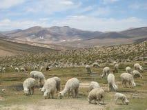 Alpaka Stock Foto