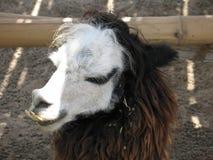 Alpaka Stock Afbeeldingen