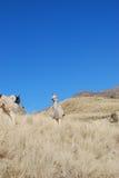 Alpaka lizenzfreies stockfoto
