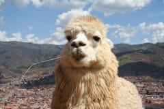 Alpaka stockfotografie