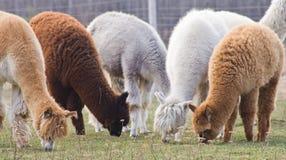 Alpaka auf Bauernhof lizenzfreie stockfotos