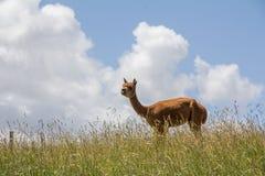 Alpaka auf dem Gebiet lizenzfreie stockfotografie