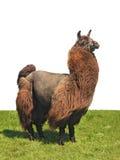 Alpaka auf dem Gras Lizenzfreies Stockfoto