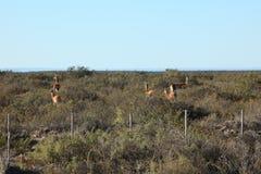 Alpaka auf der Valdes-Halbinsel in Argentinien lizenzfreie stockfotos