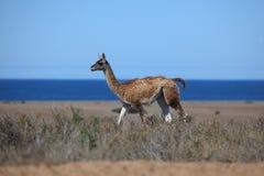 Alpaka auf der Valdes-Halbinsel in Argentinien lizenzfreie stockbilder