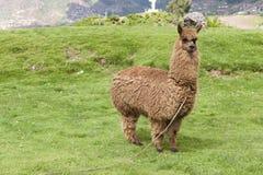 Alpaka auf einem Gebiet lizenzfreies stockbild
