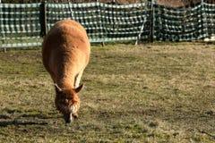 Alpaka auf einer Weide stockfoto