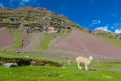 Alpaka auf grünem Feld in den Anden stockfotografie