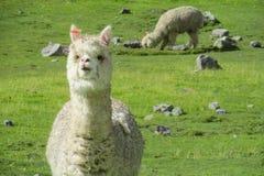 Alpaka auf grüner Bergwiese lizenzfreie stockfotografie