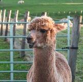 Alpaka am Bauernhof lizenzfreies stockfoto