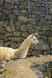 Alpaka beim Machu Picchu lizenzfreies stockbild