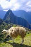 Alpaka beim Machu Picchu stockbild