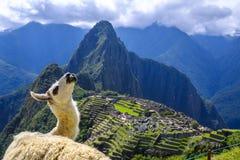 Alpaka beim Machu Picchu lizenzfreie stockfotografie