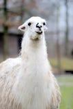 Alpaka bianco Immagine Stock