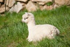 Alpaka blanco en la hierba Foto de archivo libre de regalías