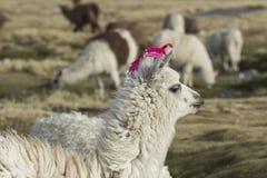 Alpaka an Colorado-Lagune, Salt Lake, Bolivien, Südamerika stockbilder