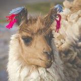 Alpaka an Colorado-Lagune, Salt Lake, Bolivien, Südamerika lizenzfreies stockfoto