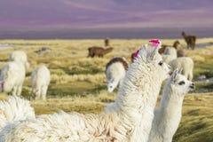 Alpaka an Colorado-Lagune, Salt Lake, Bolivien, Südamerika lizenzfreies stockbild