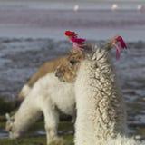 Alpaka an Colorado-Lagune, Salt Lake, Bolivien, Südamerika stockfotos