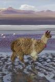 Alpaka an Colorado-Lagune, Salt Lake, Bolivien, Südamerika stockfotografie