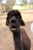 Alpaka, das auf dem Bauernhof Guten Tag sagt stockfotografie
