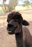 Alpaka, das auf dem Bauernhof Guten Tag sagt stockfotos