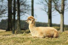 Alpaka, das auf Gras liegt. Stockbilder