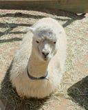 Alpaka, das bequem auf dem Schmutzboden von ihm ` s Stift sitzt stockbild