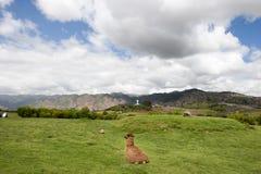 Alpaka, das an einem Feld sitzt lizenzfreie stockfotografie