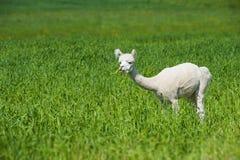 Alpaka, das in einer Wiese steht lizenzfreie stockfotografie