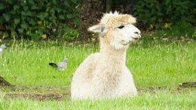 Alpaka, das in das lange Gras legt stockbild