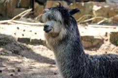 Alpaka della lama Fotografie Stock Libere da Diritti